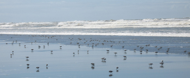 Shorebirds at the ocean: one stop in their annual Spring migration along the Pacific Flyway. Now that's what I call a community. They travel from South America all the way up to Alaska.